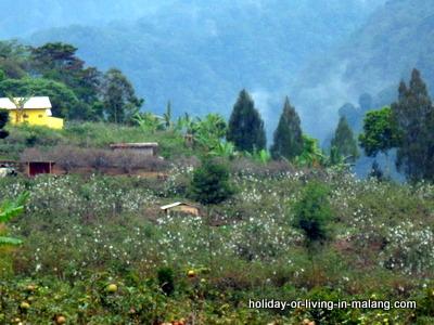 Apples garden in Poncokusumo Malang