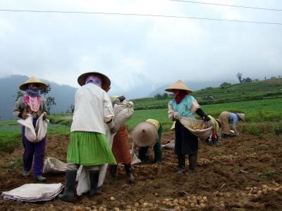 Picking potato in Cangar