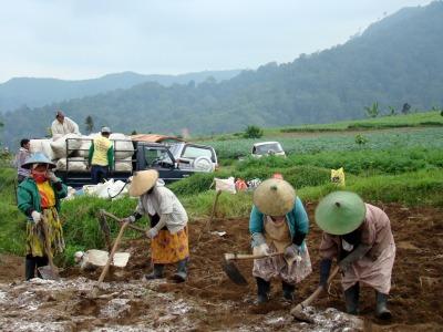 working on the potato garden in Cangar