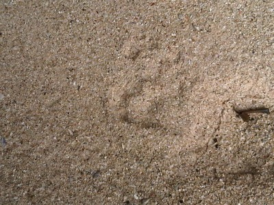 "Tigers foot print at Pasir Panjang beach"" title="
