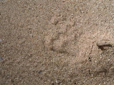 """Tigers foot print at Pasir Panjang beach"""" title="""
