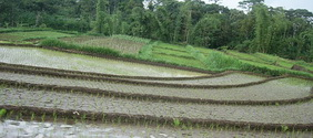 rice field in Malang